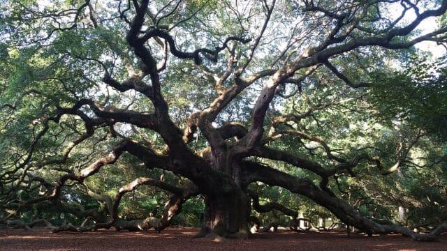 charleston angel oak tree