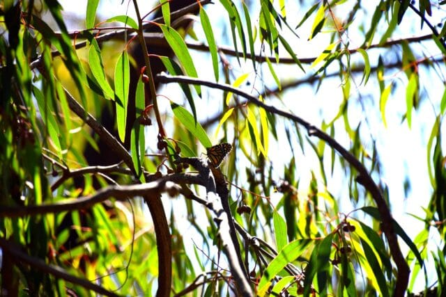 camping with kids at el capitan - butterfly migration