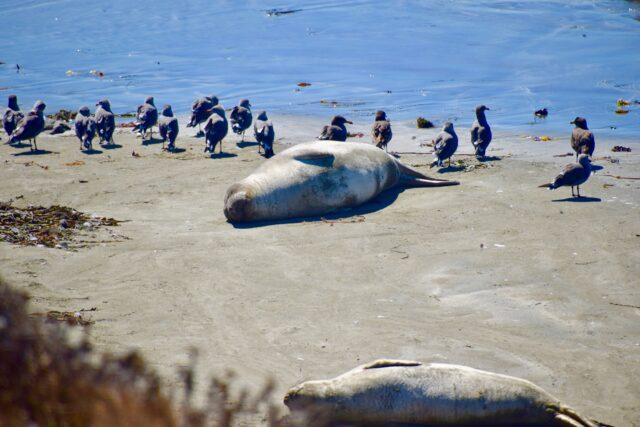 camping with kids at el capitan - elephant seals