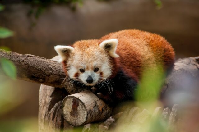 A red panda lays atop a log. Sacramento Zoo--Things to do with kids in Sacramento