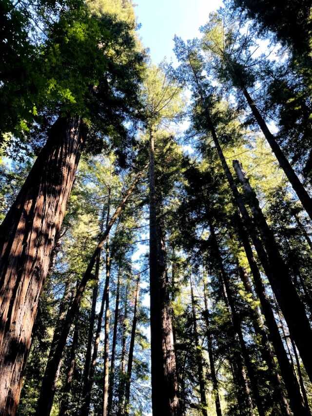 Panorama of the redwoods, shown from below. Best things to do with kids in Santa Cruz family travel