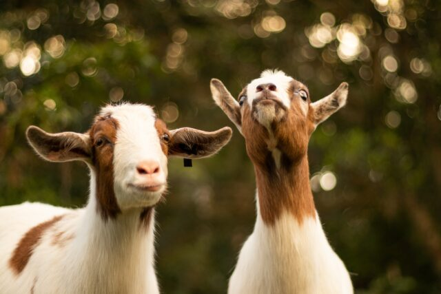 Two goats, with white and brown fur. Fall in the San Francisco Bay Area: Best Things to Do with Kids family travel halloween