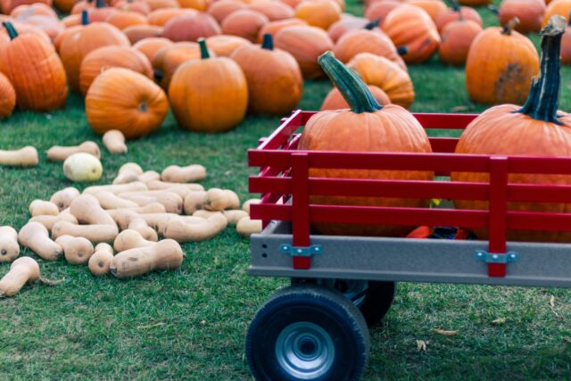 Red wagon with pumpkins. White and orange pumpkins in the background. Fall in the San Francisco Bay Area: Best Things to Do with Kids family travel halloween